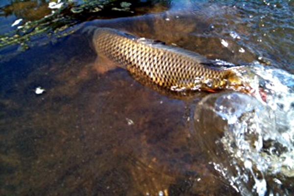 carp released